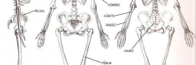 Atlas músculos y huesos